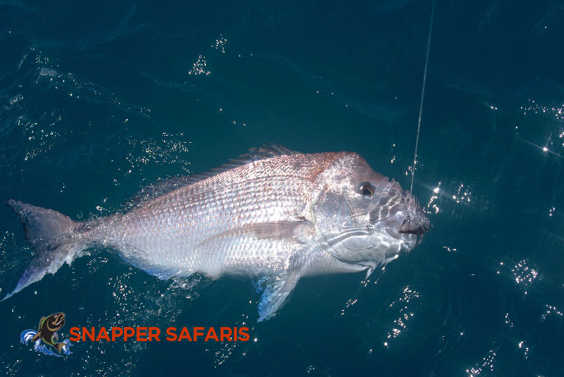 Snapper make for a most enjoyable catch